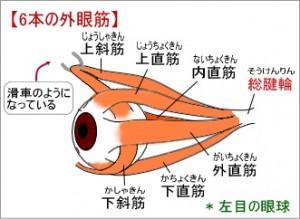 eye-muscle